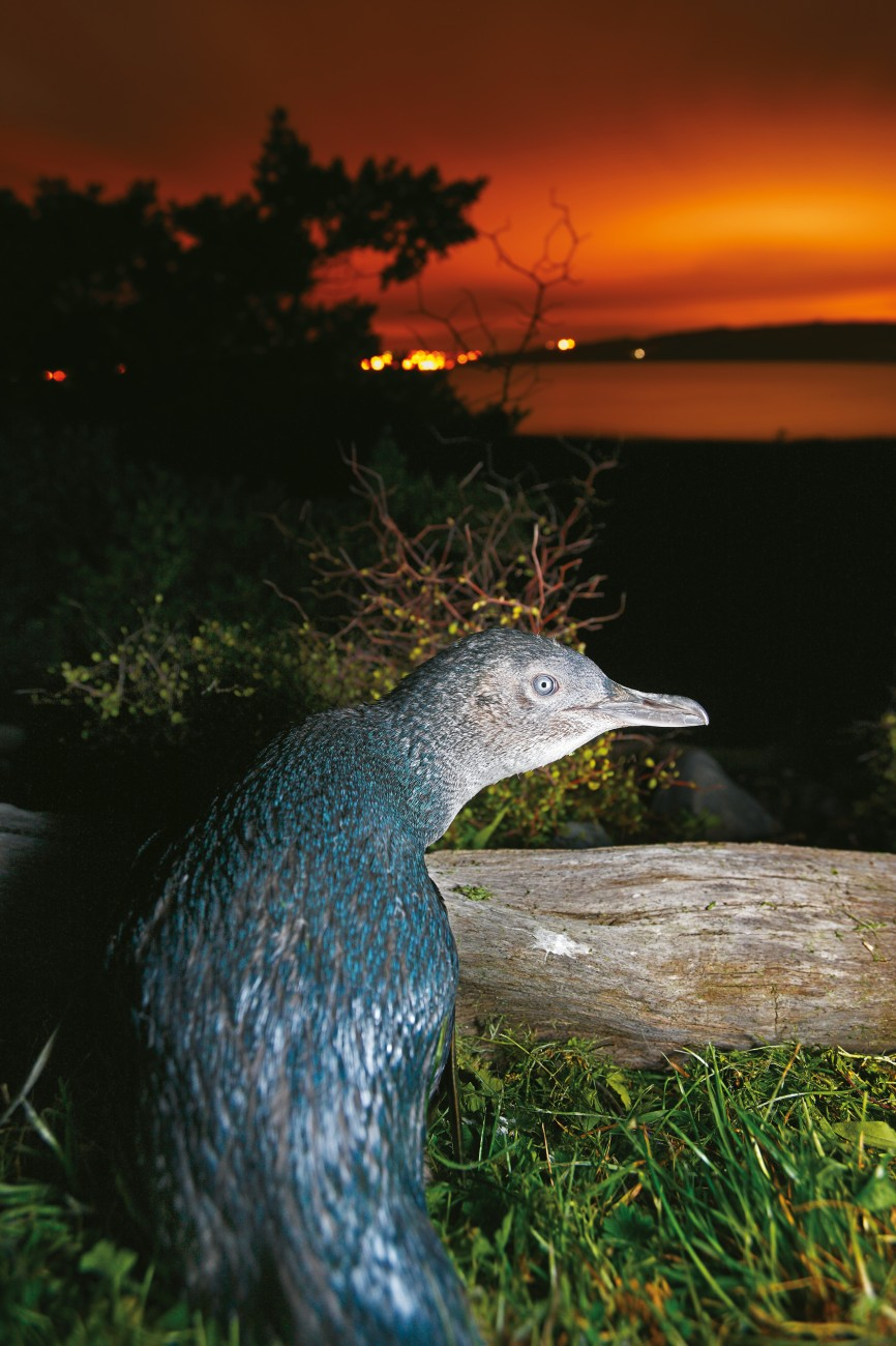 Mana Island is an important breeding location for little blue penguins, which are becoming increasingly scarce on the mainland—three were killed by motorists while crossing a Wellington coastal road to their burrows in a single weekend in July this year.
