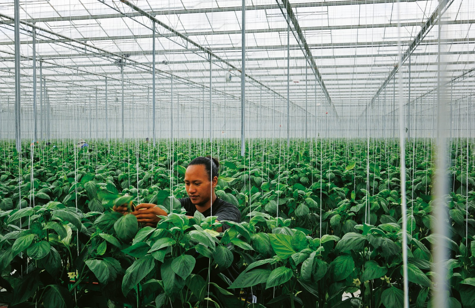 Temperature sensitive crops like capsicum, here tended by Kasey Johnson, are better grown under glass where the vagaries of weather can be controlled. Gourmet Mokai's giant greenhouse is heated with geothermal energy—a network of pipes convey hot water from a bore on the property.