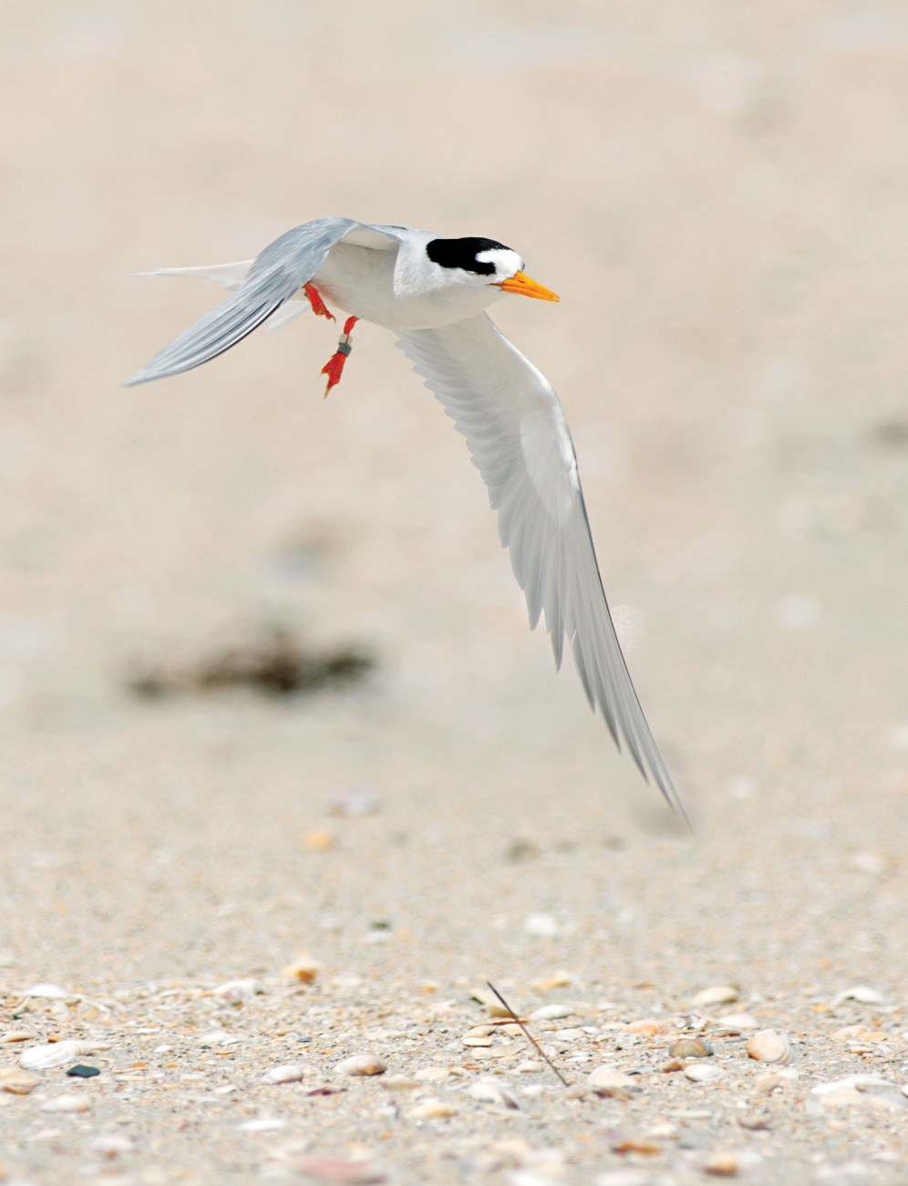 A male tern heads out at low tide to find fish in the shallows. More import- ant than feeding himself at this time of year is bringing back food. His prowess as a provider makes him irresistible in the mating stakes.