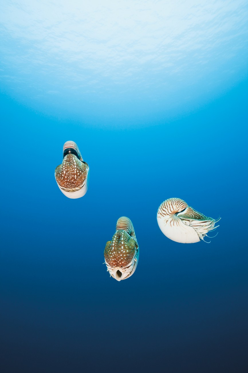 You could be forgiven for assuming that the chambered nautilus (below), found in tropical Pacific waters at depths of around 300 m, are directly descended from the extinct—but once abundant—ammonites (above). In reality, nautiluses have evolved little over the last 500 million years and were considerably more varied in size and shape in the Ordovician period (some species topped 2.5 m). While similar in appearance, ammonites belong to a different order of cephalopoda to the modern nautilus and were more closely related to squid, octopus and cuttlefish. With their similar physiologies, nautiloids may have avoided extinction by employing an alternative reproductive strategy. Ammonoids produce planktonic larvae (plankton fared poorly at the K–Pg boundary), whereas those nautiloids that survived produced fewer, larger eggs.
