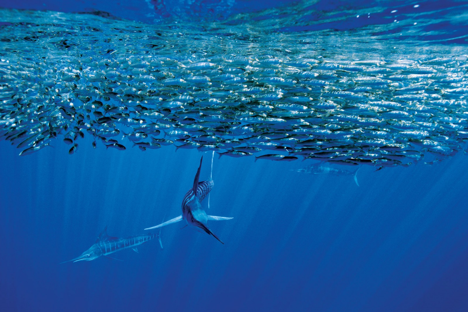 Nomads of the ocean, striped marlin cross the Pacific in their feeding migrations, visiting northern North Island waters during the months of January to May. While in New Zealand they feed primarily on squid, mackerel and another small fish known as saury. Data from satellite tags show they spend more than half their time swimming in the top ten metres of the sea, making only brief hunting forays to deeper water.