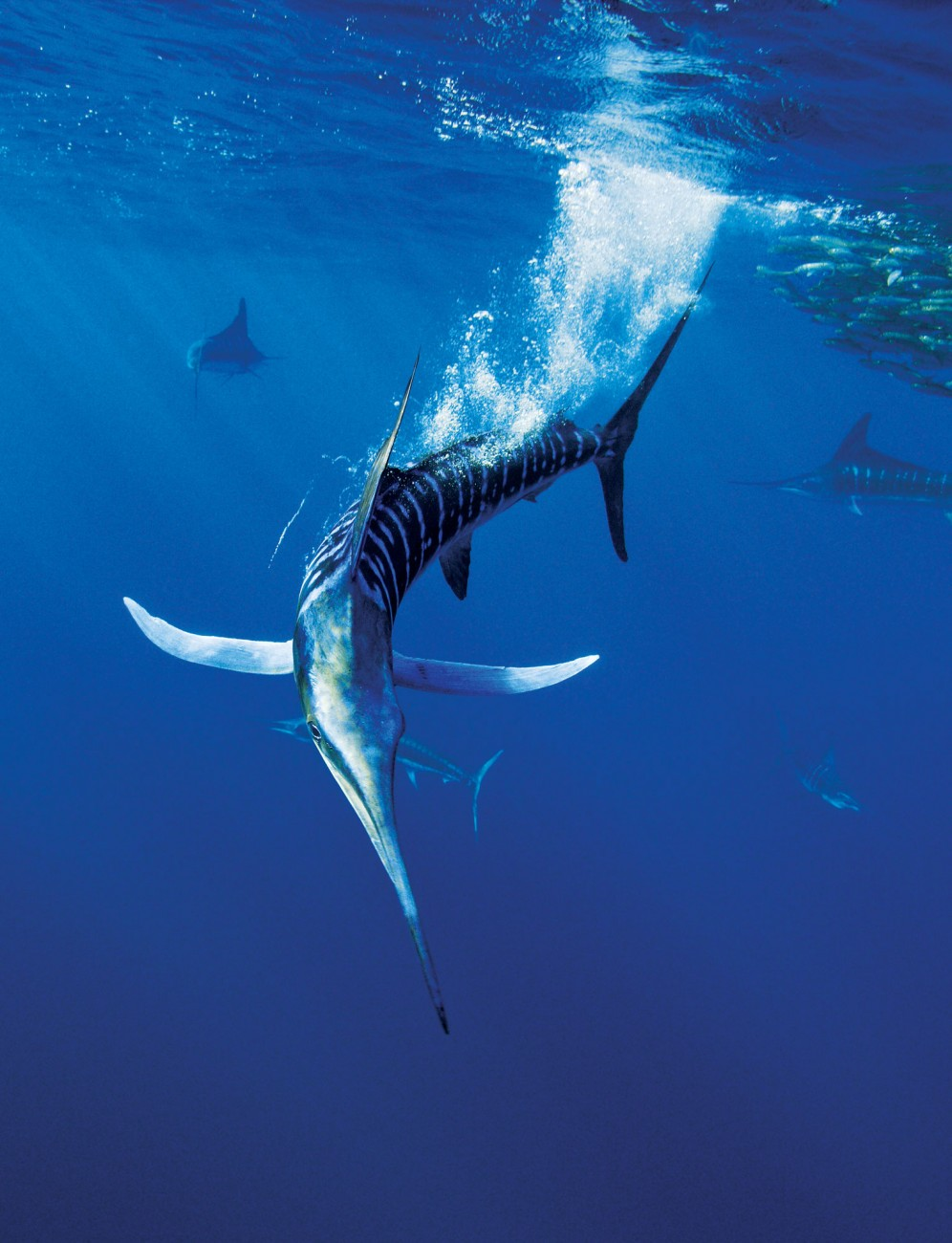 "Striped marlin are fast growing and short lived. Mature at two to three years, they are generally dead at ten. Like many predatory fish, marlin are ""counter coloured""—dark on top and light underneath—a pattern that is thought to make them less visible to prey. They attack at up to 80 km/h and the bold vertical colour bars, which become accentuated during feeding, are thought to confuse prey."