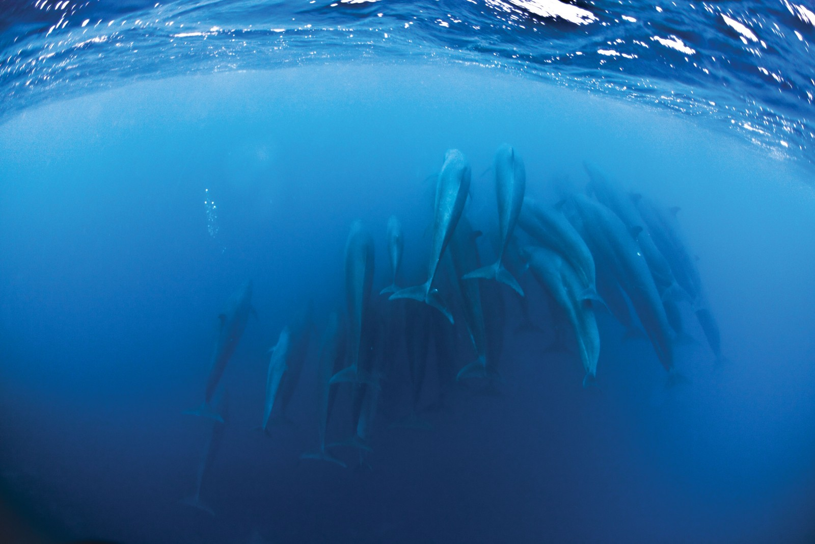 With at least 27 individuals captured in one image, a group of Pseudorca crassidens (false killer whales) head off into the blue. Typically pelagic (found in open ocean waters), their offshore distribution makes them difficult to study and therefore little is known about their lives. Like other dolphins, Pseudorca are very tactile, often touching each other whilst swimming—in this case brushing tails and pectoral fins over each other.