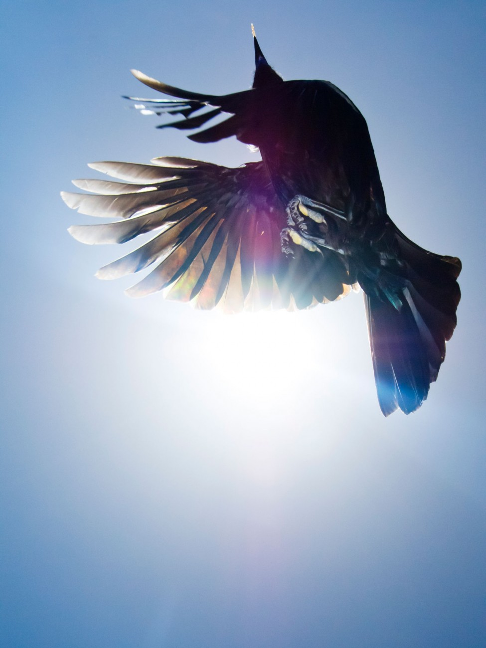 An adult tui launches into the air, revealing the slotted primary wing feathers which produce heavy whirring sounds often heard during displays and chases. These sounds are usually aggressive in function but are also used during courtship displays.