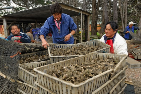 Workers at the Sweet Oyster Company at Te Hapua prepare juvenile oysters for transfer to a Coromandel oyster farm.
