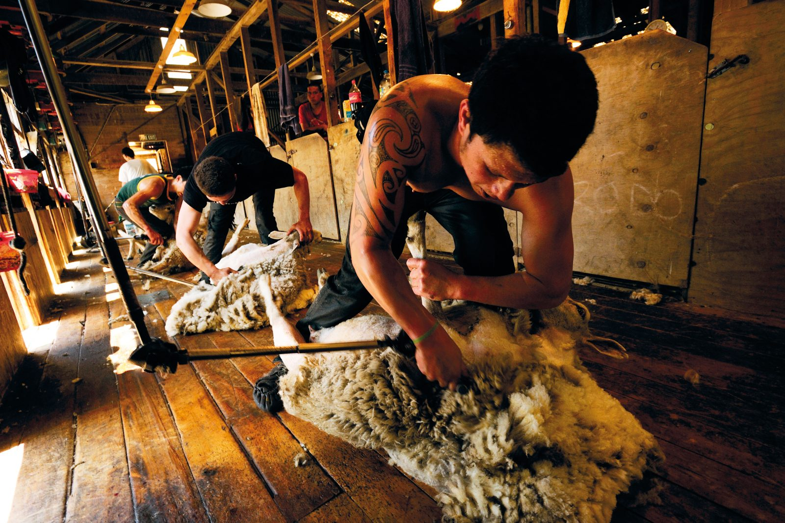 Handpieces flying, shearers in Brendan Mahoney's contracting gang work their way through the flock at Haupouri. Speed is of the essence for top shearers like Te Whata Thompson (foreground), who set their sights on winning an award at the prestigious Golden Shears contest. Success in competition pushes the pay rate up considerably. With sheep numbers declining, it is hard for shearers to find year-round work in New Zealand, so many travel overseas in the off season to work in Italy, France, the UK and Norway.