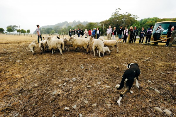 Tom Gordon and eye dog Fay give a sheep-herding demonstration to a tour group at Clifton. Tom worked in farm shows in Japan for three seasons to gain experience in farm tourism, an important revenue stream for a traditional sheep station like Clifton, which has had to diversify to stay in business.