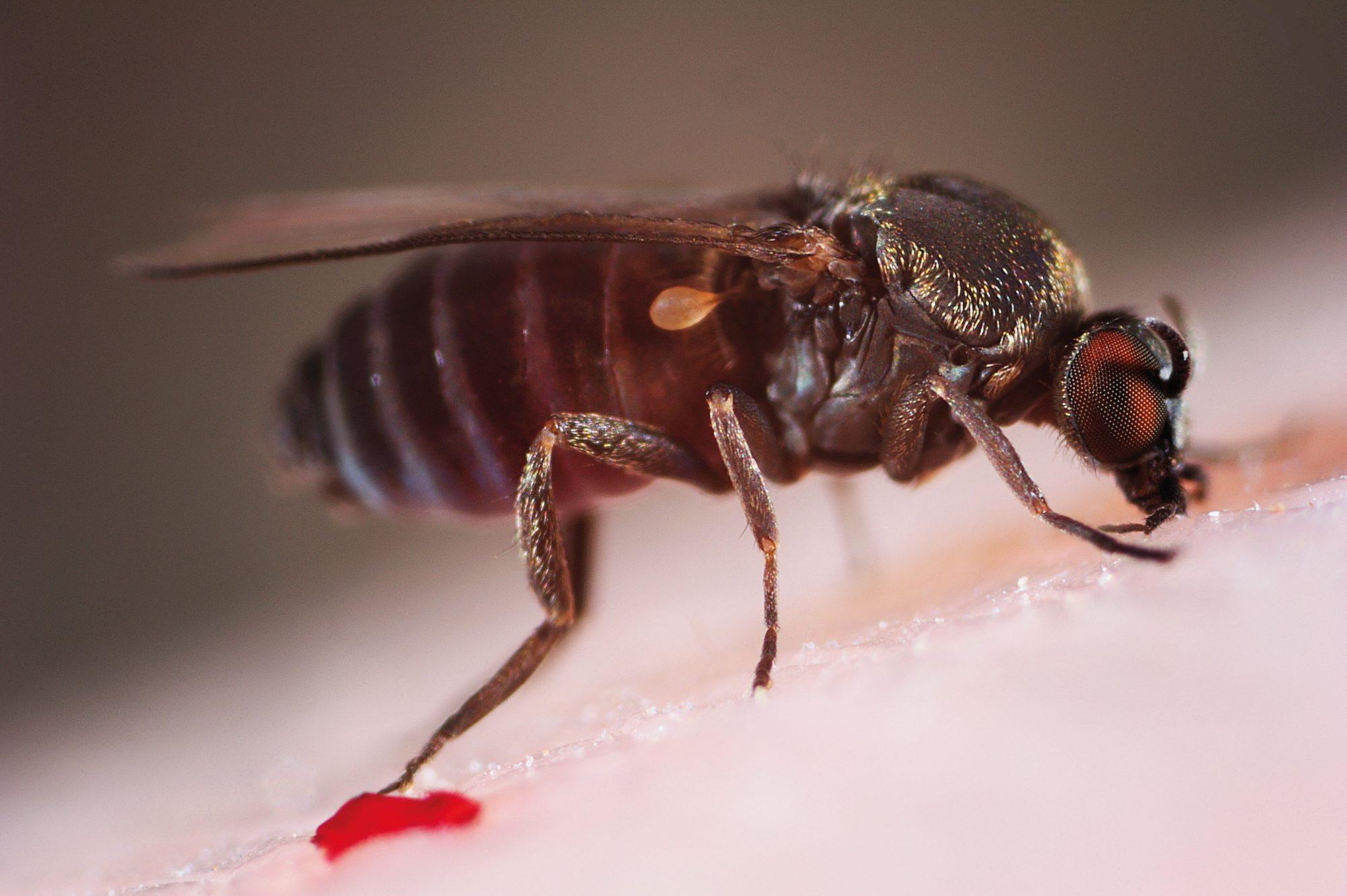 Sandfly Bites