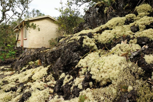 The lichens' life is so long that they have been called the stains of time, ready to grow over vestiges of human existence. Cladia retipora washes around an abandoned bach on Rangitoto Island.