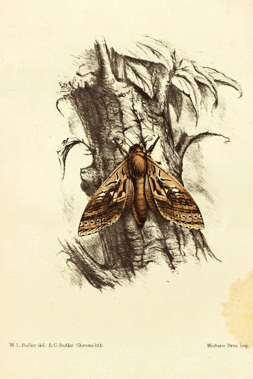 Walter Buller named the huge Porina mairi moth (later reclassified Aoraia mairi) after his brother in law and friend, Gilbert Mair, who had accompanied him on his expedition. He presented a description to the Wellington Philosophical Society in 1872 and it was published along with this illustration (in both Latin and English) in Transactions of the Royal Society of New Zealand. Neither the specimen nor the moth have been seen since the late 1800s.