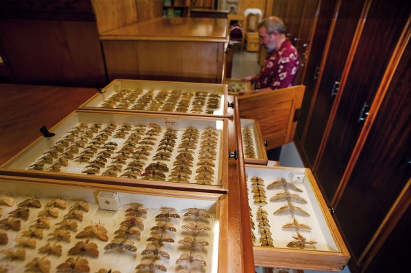 Ricardo Palma, Curator of Insects at Te Papa, peers into one of the nine kauri cabinets holding the private collection accumulated by George Vernon Hudson while working at the Wellington Post Office. Hudson published some of New Zealand's definitive entomological texts, the first when he was only 19.