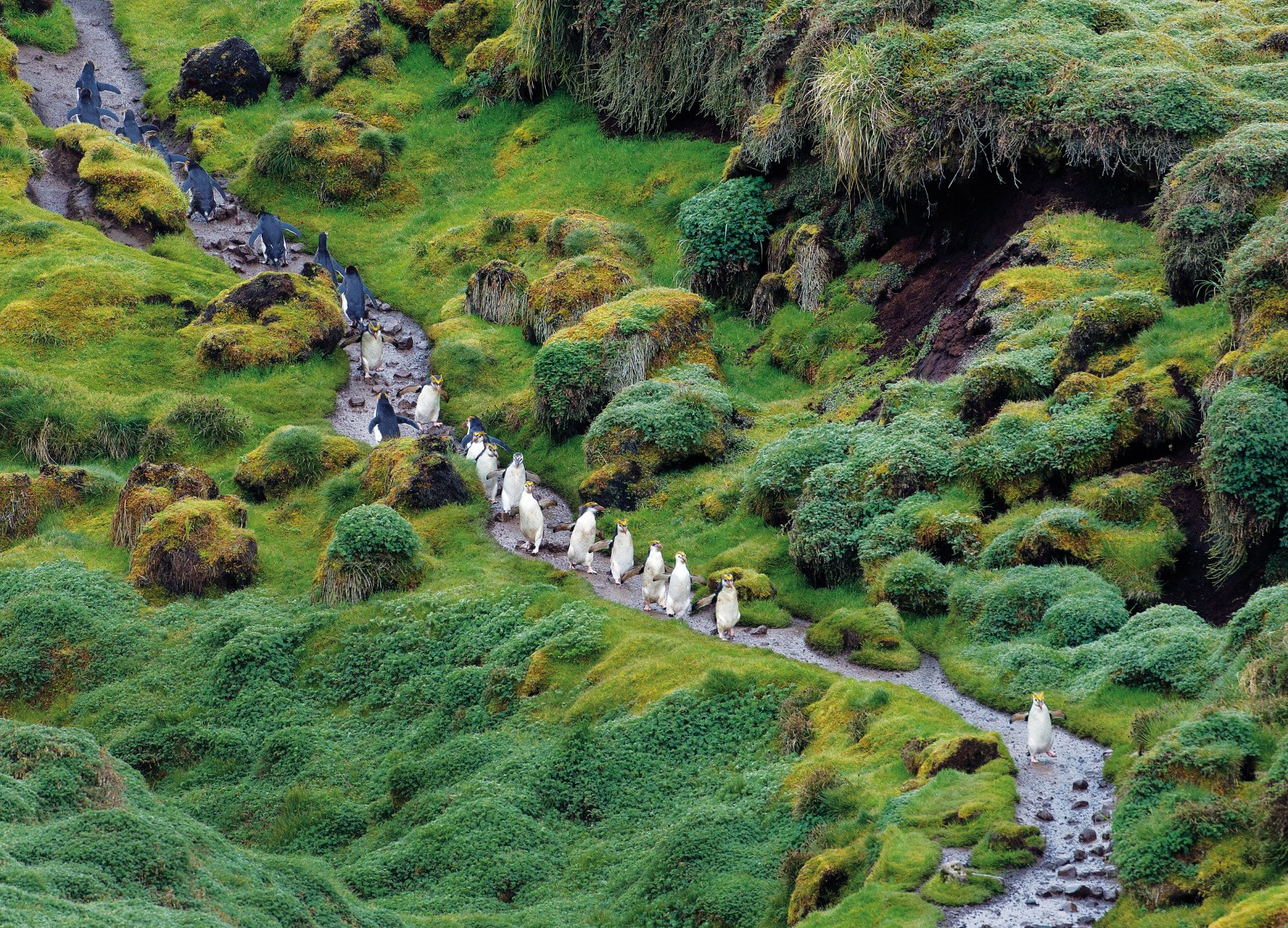 Royal penguins make their way along a trail from the colony at Sandy Bay, on the east coast of Macquarie Island.