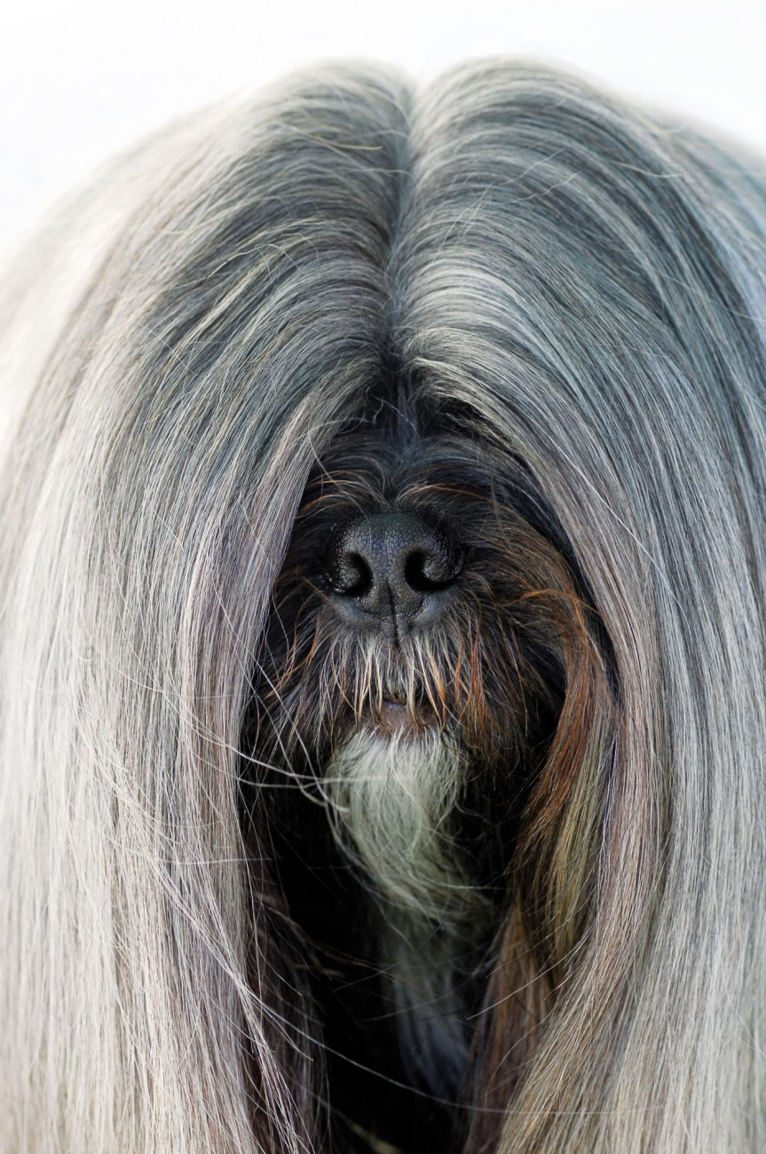 New Zealand's leading Lhasa Apso, Timmy, owes much of his success to a pH-balanced invisible hold gel, the brand of which owner Debbie Bielby resolutely refuses to reveal (see sidebar).