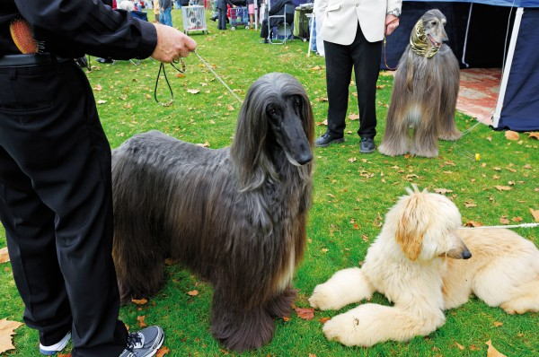 Local hero Izak, the top-ranked Afghan Hound in the country, pipped his son, Nicco, for Best of Breed at Huntly. Nevertheless, Afghan aficionados are predicting big things for the blond nine-month old. The breed rose to prominence in 2005 when rogue Korean scientist Hwang Woo-Suk cloned an Afghan, Snuppy, the first cloned dog in history.
