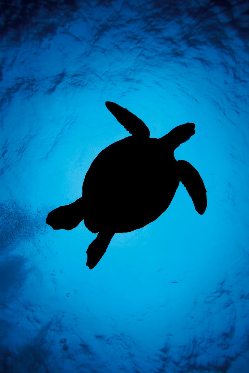 Highly migratory, turtles—such as this green turtle photographed off Aitutaki in the Cook Islands—rely on massive circulations of water in the world's oceans, known as gyres, for both food and a free ride. Those that visit New Zealand typically exploit the East Australian Current, turn left onto the slow-moving Tasman Front, and ride the East Auckland Current down the east coast of the North Island.
