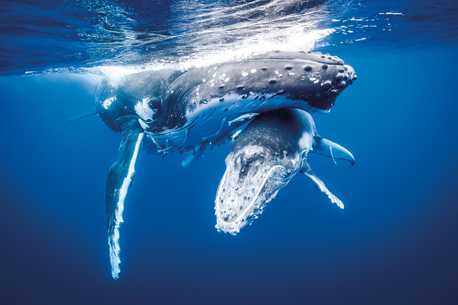 119_Humpback_Bodyimage_02