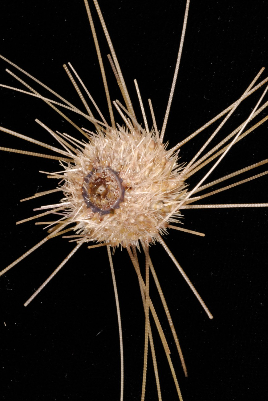 The very long-spined sea urchin, Aspidodiadema tonsum, was sampled from a depth of 1000 metres on the Tangaroa seamount, one of the southern-most volcanoes in the Kermadec Arc that had not been explored prior to this year. The urchin uses its spines—the longest of any sea urchin relative to its size—to creep along the sea floor and to deter predators. Fine serrations along the length of those spines are possibly used to brood eggs.