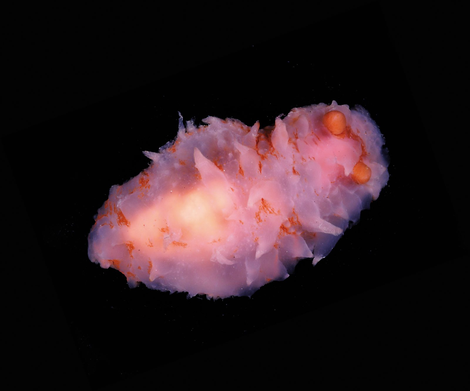 While much of the territory explored by NIWA has never been sampled before, scientists can usually identify most of the samples retrieved from the depths. Not so this mystery nudibranch discovered in a canyon at a depth of some 1200 metres—it remains unidentified even seven months later. It features orange rhinophores, the dramatic olfactory organs common to gastropods, and an array of soft pink cerata, horn-like structures that increase the surface area of its back for the purpose of respiration. Eighty per cent of New Zealand's biodiversity is found in the sea, and with most of our ocean territory unexplored, many marine species are yet to be discovered.