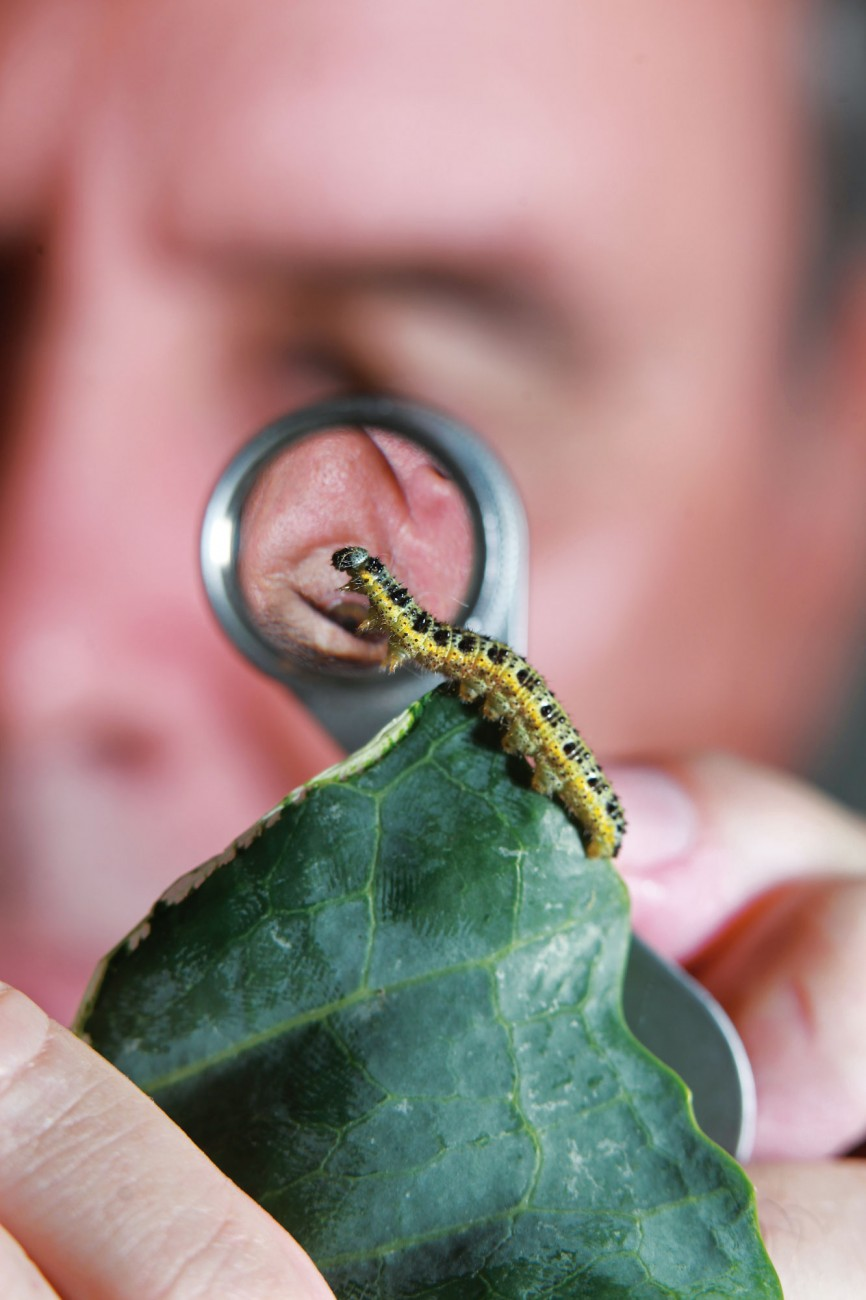 Research entomologist Graham Walker studies a fully developed caterpillar stretching from a broccoli leaf. The caterpillars go through several distinct stages called instars, and the grey colouring on the head—typical of the final instar—indicates that this specimen is mature and ready to pupate.