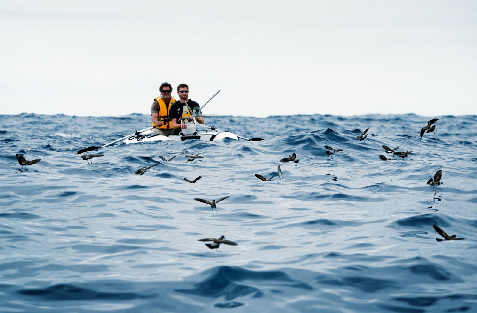 Storm petrels gather astern of the writer Chris Gaskin and Neil Fitzgerald (with the net gun) in the project's inflatable dinghy. Most are white-faced storm petrels, but Fitzgerald has the bird with the white rump (toward the right side of the picture) in his sights—a New Zealand storm petrel.