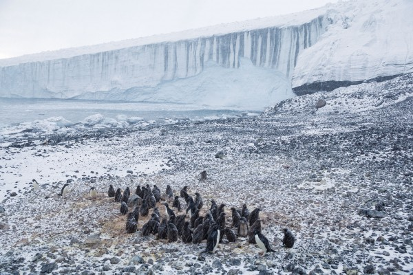 Adélie penguins huddle in driving snow at Cape Bird on Ross Island, Antarctica. Behind, the Bird Glacier slithers into the Ross Sea, where it melts rapidly. Many glaciers on the mainland, fed by the massive West Antarctic Ice Sheet, remain 'underpinned' by the Ross Ice Shelf, which slows their melting, for now.