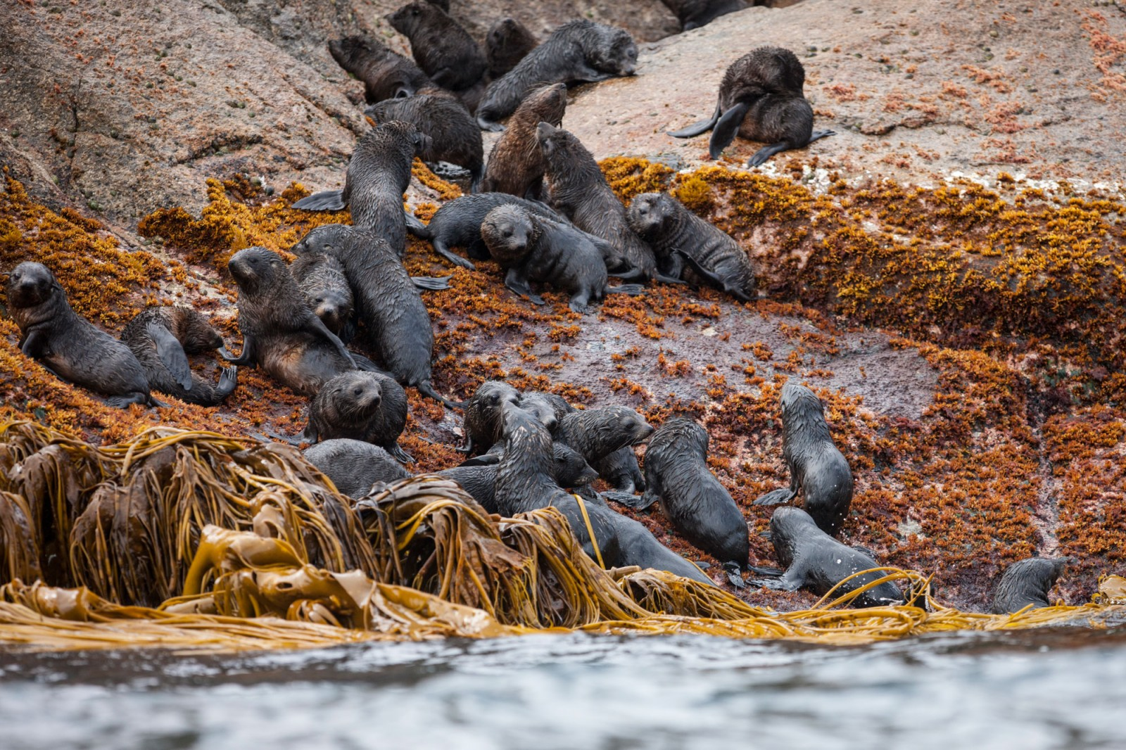 Pups emerge from the water while their mothers keep an eye on them from higher up on the rocks. By grouping together in informal nurseries, fur seal pups are afforded some protection from predators.