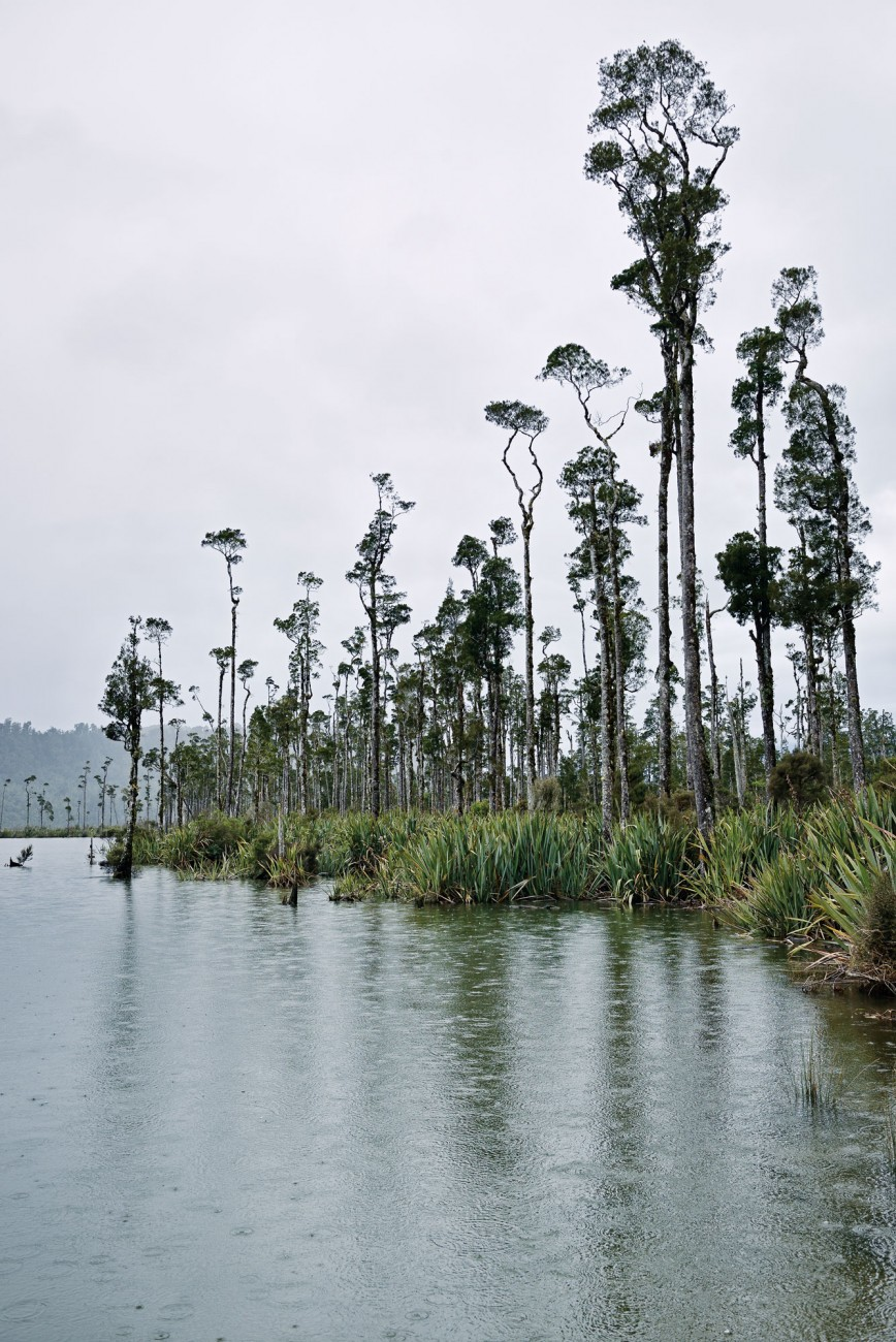 New Zealand's tallest tree, kahikatea, was ruthlessly extirpated so that the lowland swamps which are its usual habitat could be drained for farmland. Only fragments of those vast forests remain, most notably in South Westland, where they have international status as part of Te Wahipounamu/South Westland World Heritage Area.