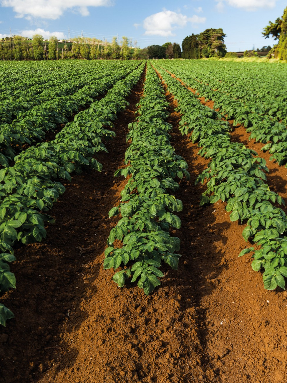 Rows of potatoes sprout from the fertile soils of the Bombay Hills, just south of Auckland, one of New Zealand's largest potato-growing regions. Prior to the 1960s they would have been destined only for home kitchens, but now more than half are used for chip and crisp production. Export of processed potatoes (mainly frozen) began in 1991 and is now the country's second-highest vegetable export earner. With improvements in potato varieties and farm practice, yields have grown from 13 tonnes per hectare up to 80 tonnes in well-managed fields.