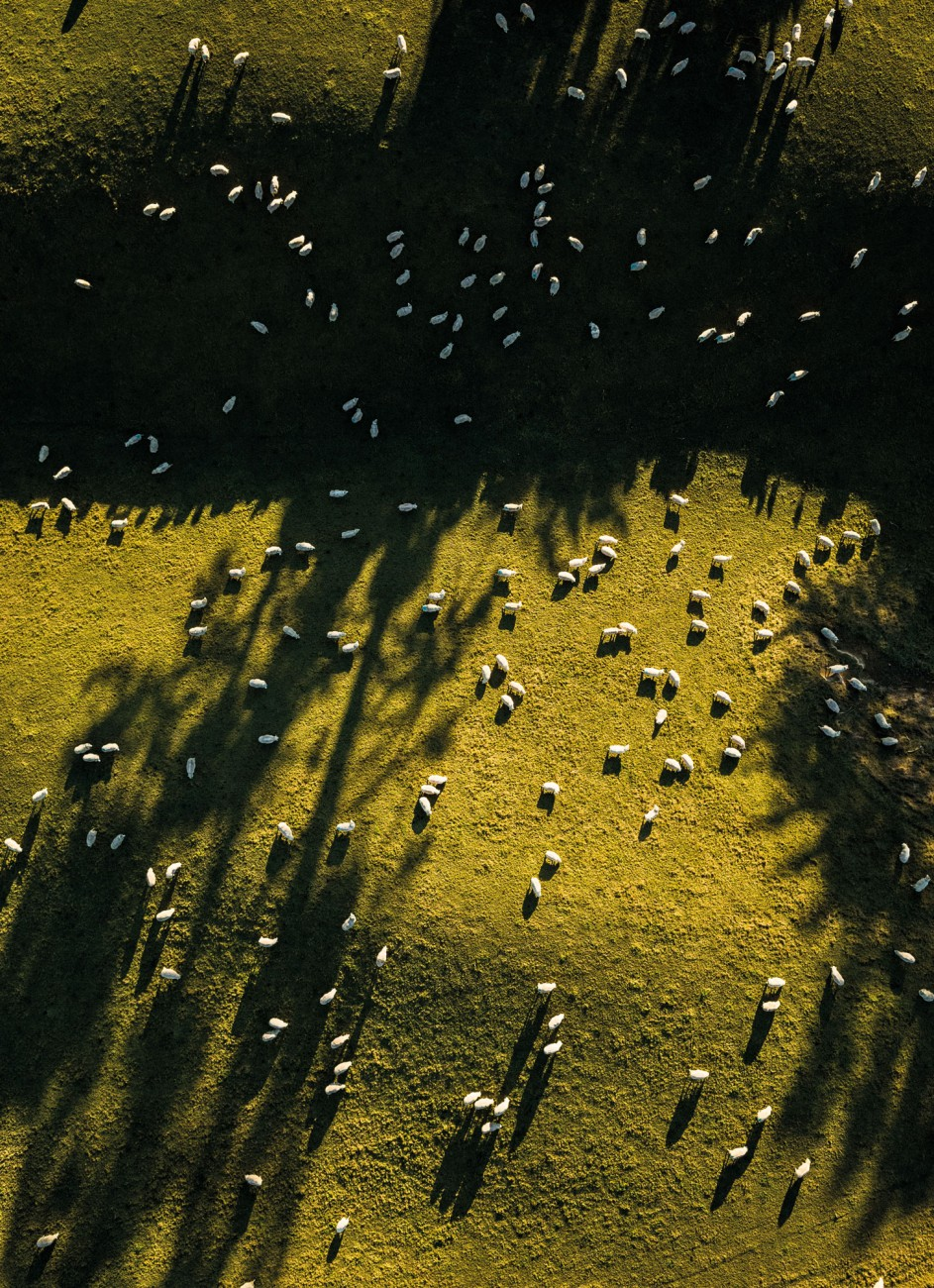 Sheep graze on a sunny hillock near Gore, Southland. Analysis by AgResearch has shown that the greatest portion of carbon emissions occurrs on the farm, rather than in transport of agricultural products. As productivity increases, the carbon footprint reduces, making New Zealand farms internationally competitive from an emissions point of view. However there can be up to a two-fold variation between individual farms, meaning there's still plenty of potential for efficiency gains.