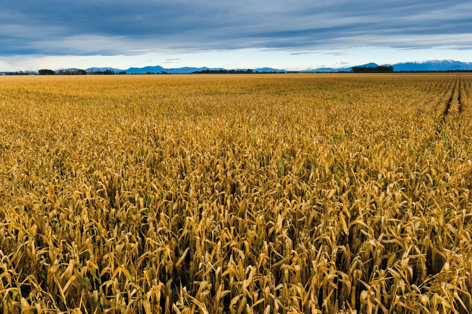 Canterbury is one of the best-suited regions in the country for growing cereals, such as maize, pictured. Cereals use less water, are more resource efficient and have less environmental impact than farming livestock, but there are other market forces at play. As milk products generate better returns and irrigation technology improves, land in Canterbury once devoted to cereal production is steadily being converted to dairy.