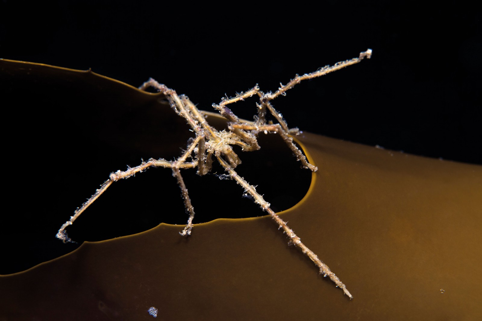 A pycnogonid, or sea spider, clings to the edge of a kelp frond in Dusky Sound. These ancient creatures, which range in size from a millimetre to almost a metre, may be a sister group to terrestrial insects, spiders and crustaceans. Some have mosquito-like feeding habits, inserting their proboscis into a soft-bodied marine organism such as a sea anemone and sucking out body fluids. This species, about the size of a two-dollar coin, has eight legs, but some pycnogonid species have 10 or 12.