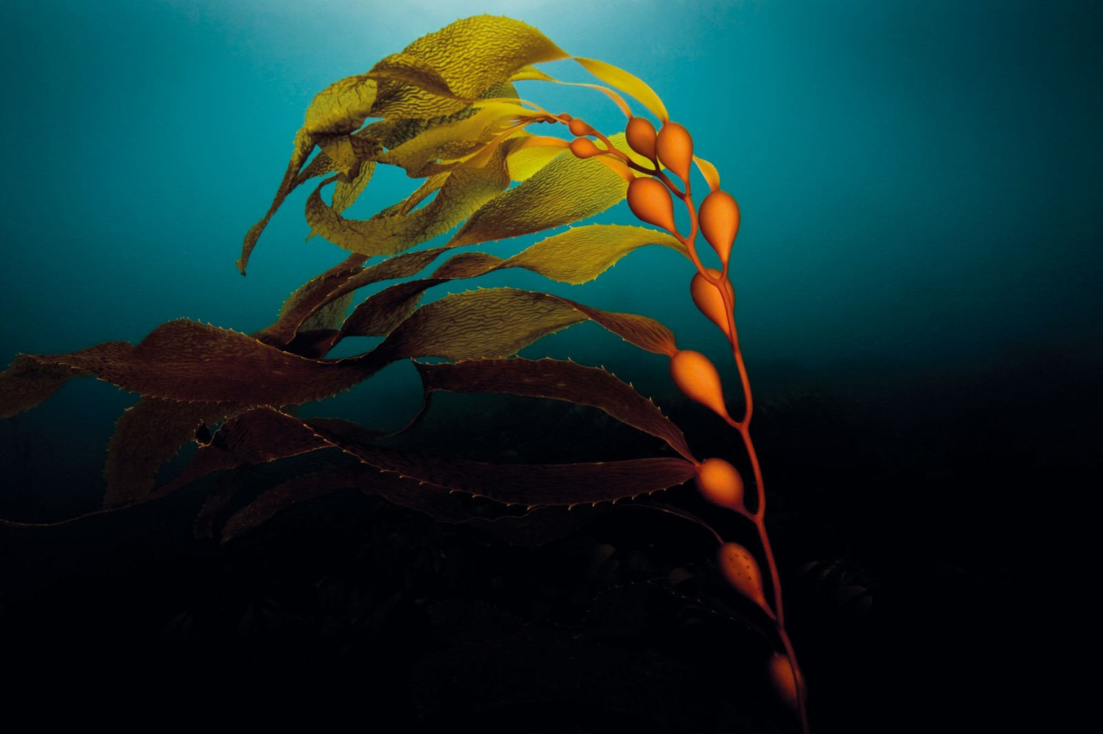 Icon of southern seas, the giant bladder kelp Macrocystis pyrifera bends to the sea current at New Zealand's second largest marine reserve, created in 2003 around the subantarctic Auckland Islands. The species was introduced to the Quota Management System in 2010 so that it could be commercially harvested for processing into pharmaceuticals, nutritional supplements, garden fertiliser and other products. Marine scientists protested the move, saying that harvesting of such a keystone species was akin to logging native forest.