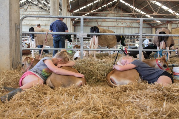 Twins Danielle and Rebecca Rose rest with their twin jersey calves Skittles and M&Ms after a long day at the Wairarapa A&P show. Preparation for show day often starts at six in the morning, when animals are rounded up, loaded into trailers, transported to the show and given a final shampoo, ear clean and hoof scrub before competition begins.