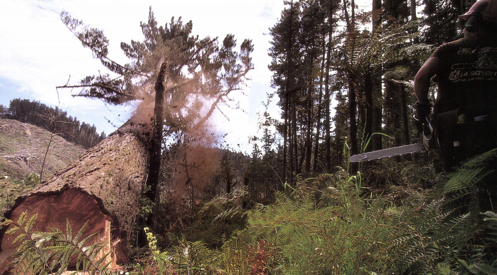 Radiata Prince Of Pines New Zealand Geographic