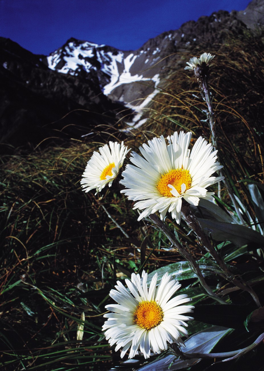 Celmisia semicordata, here photographed in the Seaward Kaikoura mountains, is the largest Celmisia, reaching 0.75 m in height. It is found through the moister areas of the South Island lower alpine zone.