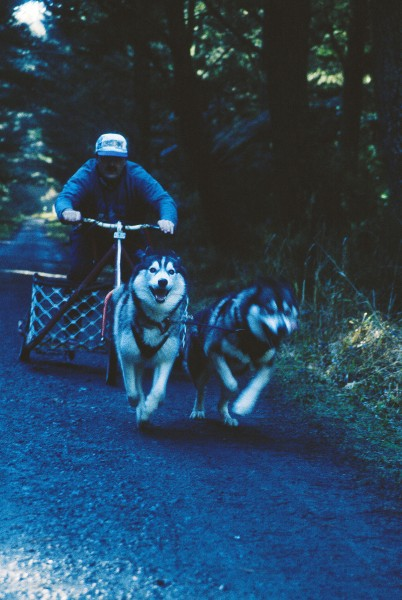 Just as enthusiastic about the vast, cool expanse of trees are malamutes racing along the forestry paths. Teams range from singles to sixes. A 10 kill sprint race takes no more than 25 minutes Jar a six-dog team pulling a sled and musher.