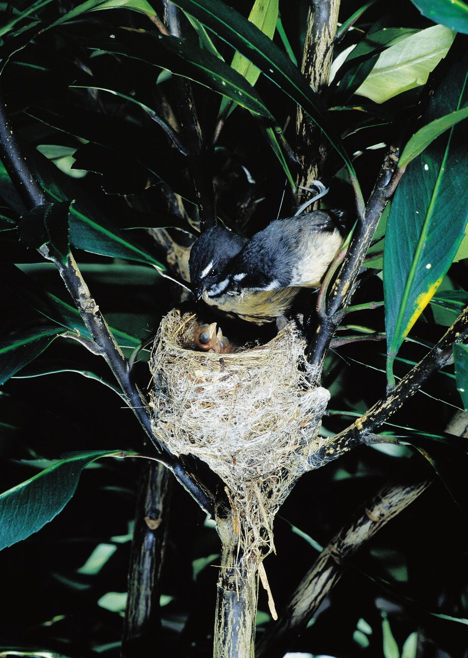 Fantails are prolific breeders or at least they try to be. Clutches of two to five eggs are laid, and up to five clutches may be produced in a season. Incubation, a task shared by both parents, takes about 14 days, and another fortnight passes before the young fledge and leave the nest.
