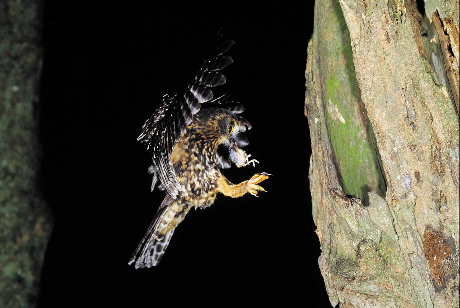 Moreporks seize only a small number of adult fantails but take many nestlings. Compared with the carnage wrought by ship rats, their predations are modest. Like moreporks, rats hunt by night, a time when females are often nest-bound, incubating eggs or chicks, and therefore highly vulnerable.