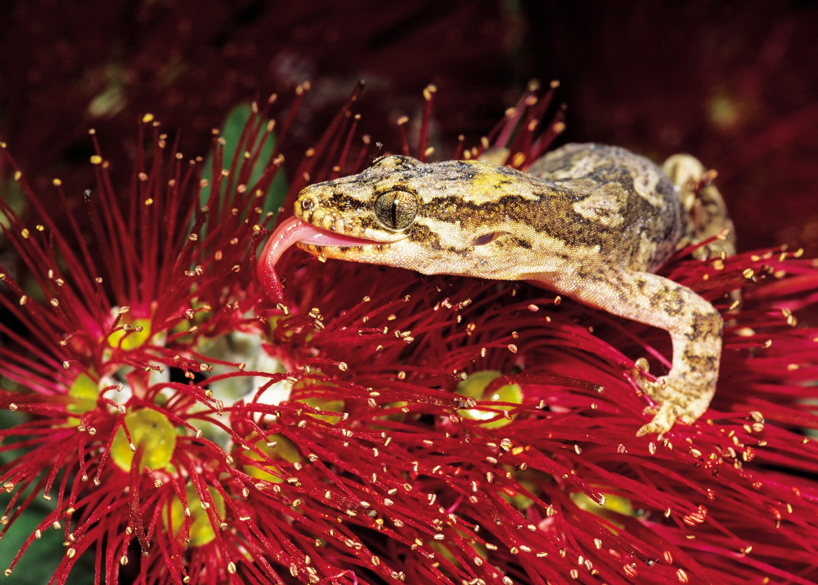 Among the 14 or so species of reptile on little Barrier are Duvaucel's gecko (at up to 25 cm, including the tail, one of the largest geckos in the world), the very rare chevron skink (found only on Little and Great Barrier Islands), and the Pacific gecko, seen here licking nectar from a pohutukawa blossom. Geckos are thought to have once been major pollinators of many of New Zealand's native flowers.