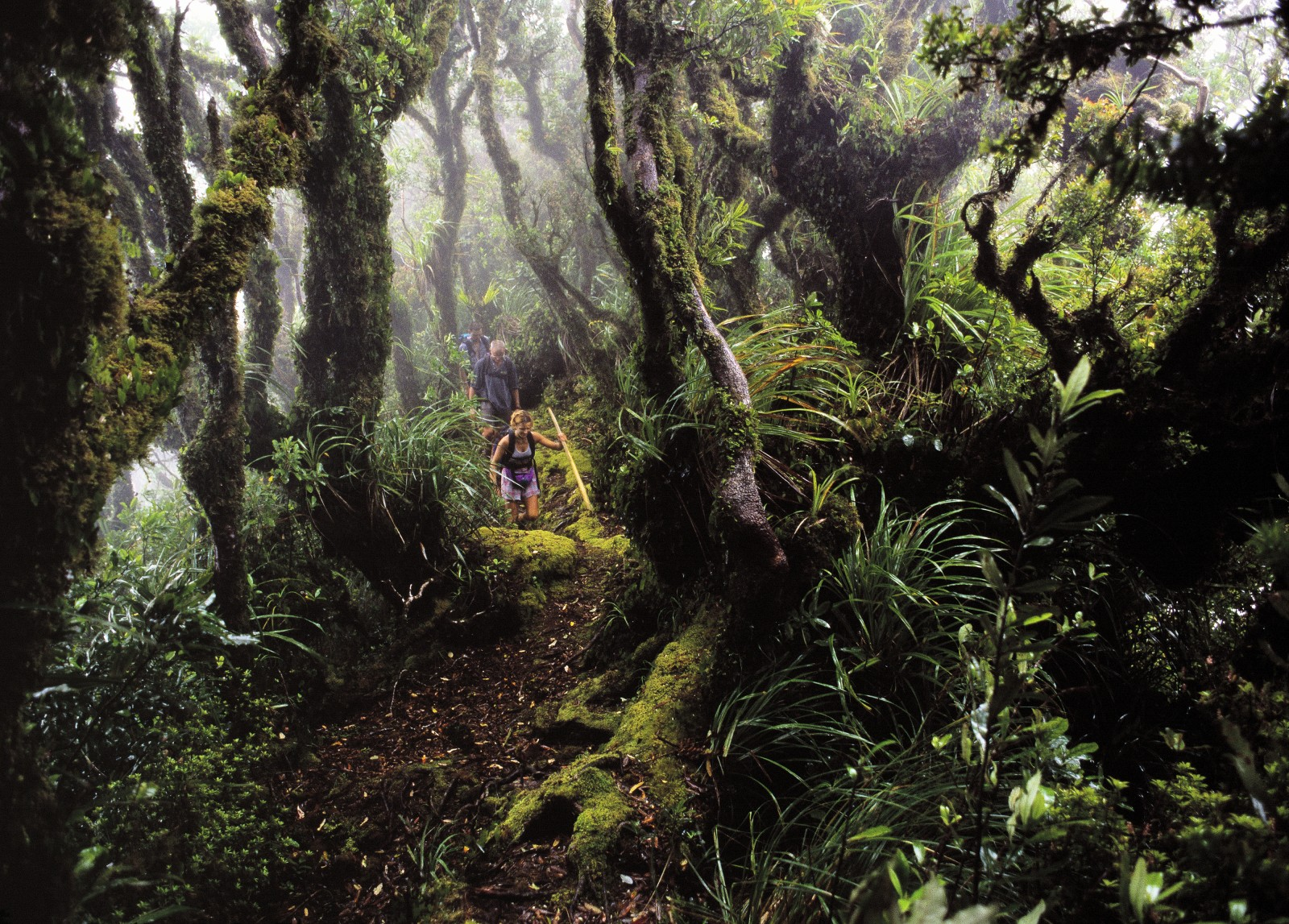 Clouds often shroud Hauturu's 700 m-higfh peaks, which are covered with a stunted, moisture-loving cloud forest rich in southern rata, tawa, tawhero, Westland quintinia and tawari. Epiphytic ferns, mosses and liverworts hang from every tree. Some 370 species of plant occur on the island, including 90 kinds of fern.
