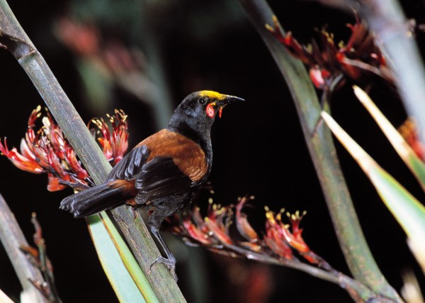 """In 1869, saddleback, or tieke, were described as """"very common"""" on Little Barrier, but by 1882 they had all but to have accounted for the demise of the birds, which like to roost on or near the ground. Once cats were eliminated in 1980 (the culmination of a battle that started seriously in 1968), the island was declared """"safe,"""" and saddlebacks were reintroduced from Cuvier Island in 1984. They have since thrived. The bird pictured above has acquired a flax-pollen """"bonnet."""""""