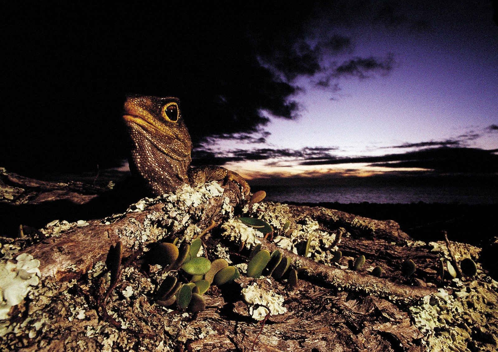 Because of the risks to rare animals such as the tuatara (which almost disappeared while cats were present) unauthorised landings on Hauturu are forbidden. More species of reptile and endangered birds inhabit Little Barrier than any other island in the country, making it one of the most significant islands for conservation in the world.