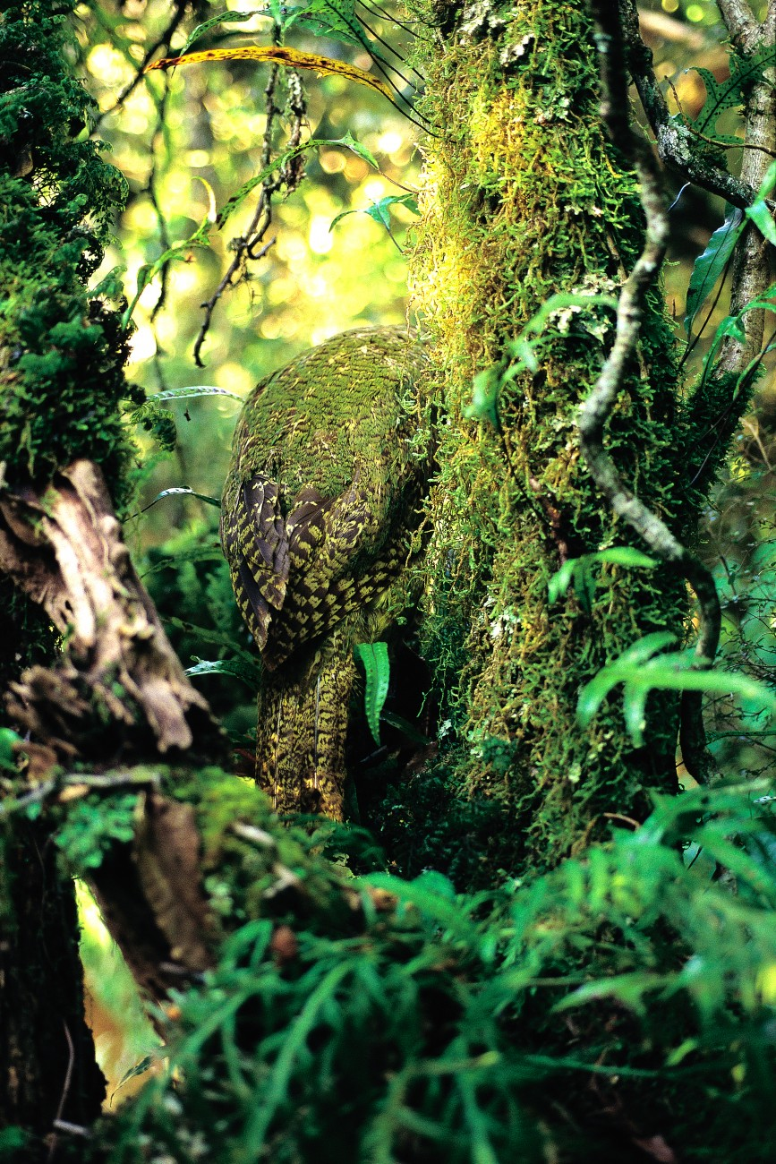 Kakapo are beautifully camouflaged amongst native forest vegetation. Searchers have spoken of being unable to see one only a metre away until the bird blinked, for the bird's defence consists in sitting perfectly still. Such a strategy has been o f little use against keen- nosed mammals, which have ushered this bird, like so many others, to the very brink of extinction.