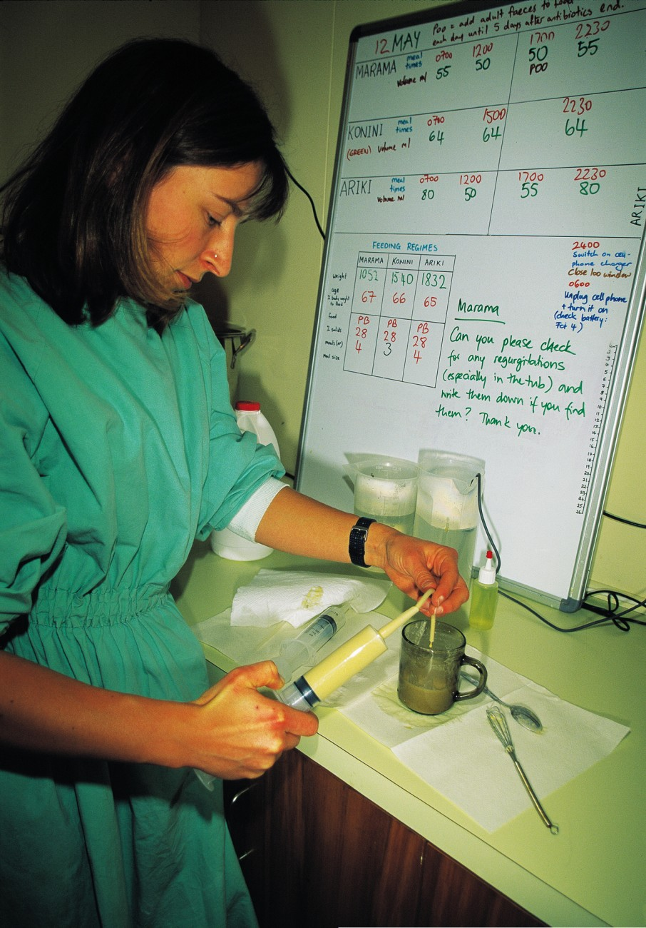 Karen Ludwig, here filling a syringe with liquid parrot food, and her colleagues cared for the nurslings round the clock. Just one died, at 50 days old, victim of an incurable intestinal deformity.