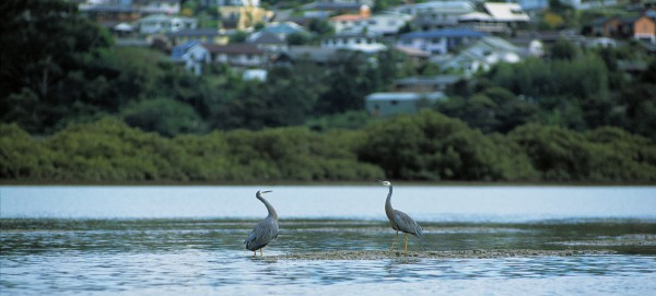 Together with council-led initiatives, this move bodes well for the stream and its residents—including a pair of white-faced herons waiting for the tide to drop before feeding on mudflats near the Opanuku's mouth.