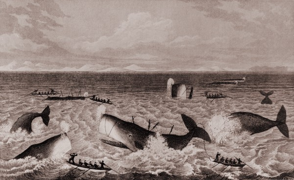 """The first whales to be exploited in local waters were sperm whales to the north of New Zealand, a """"fi shery"""" depicted by settler Joel Polack in a book of his travels published in 1838. Ships working this ground were responsible for the establishment of Kororareka (now Russell) as a port."""