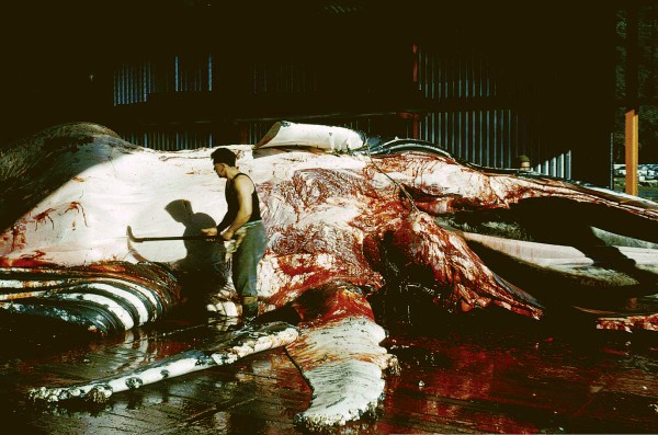 Catching whales was the exciting part of the job. Extracting the oil entailed cutting whole carcasses into book-sized chunks and then rendering them down in iron try-pots or, in later years, pressurised digesters. Devoid of glamour, it was dirty and dangerous work, with razor sharp tools.