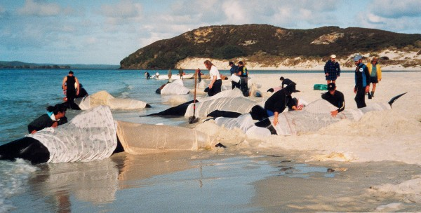 Project Jonah New Zealand has become a world authority on the rescue of stranded whales and dolphins, developing specialised rescue equipment and educating the public on how to care for beached whales. Such simple methods as draping the animals with wet cloths—as was done with these pilot whales which stranded in Parengarenga Harbour in 1992—can mean the difference between life and death.