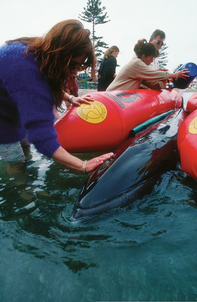 More cetacean strandings occur in this country than anywhere else in the world—though no-one knows why. Innovations such as inflatable pontoons, here being used to support a dwarf minke whale which stranded near Tauranga in 1995, are credited with having saved some 2500 marine mammals.