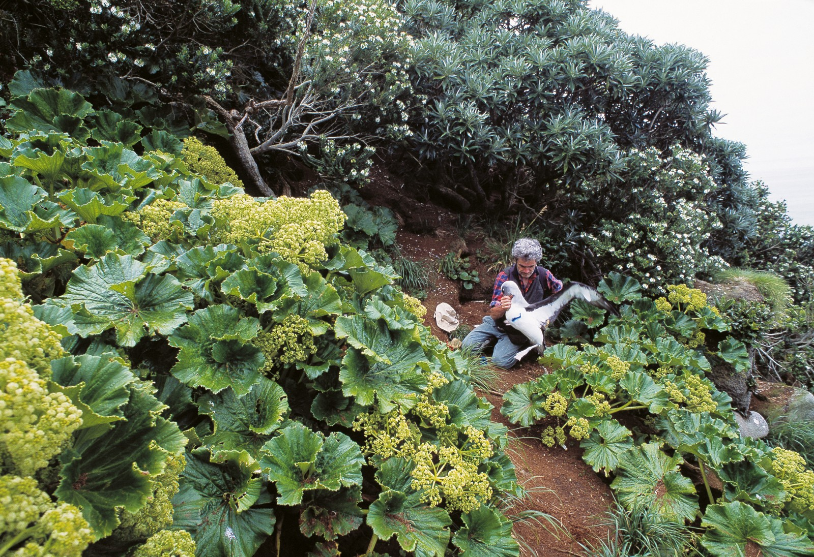 Megaherbs, the flamboyant flowering plants for which New Zealand's southern offshore islands are well known, are represented by just one species on the Snares: the large-leaved punui, Stilbocarpa robusta.
